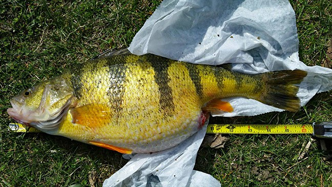 The story behind ohio 39 s new record perch for Yellow perch fishing rigs